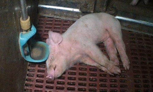 Des porcelets mourants au sein d'un élevage porcin de Juvrecourt (Meurthe-et-Moselle)