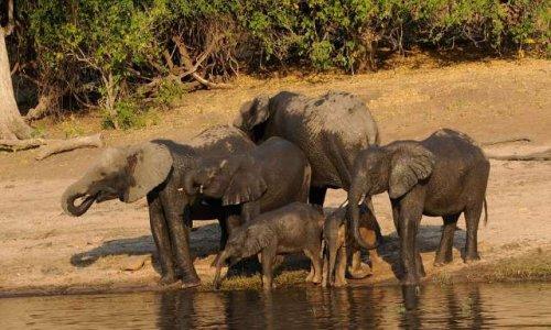 CONTRE LA LEGALISATION DE LA CHASSE DES ELEPHANTS AU BOTSWANA !!!!!!