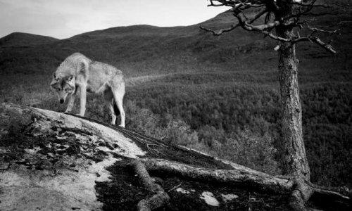 Stop ! A l'abattage des loups