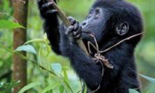 Alerte rouge - les singes grandement menacés !