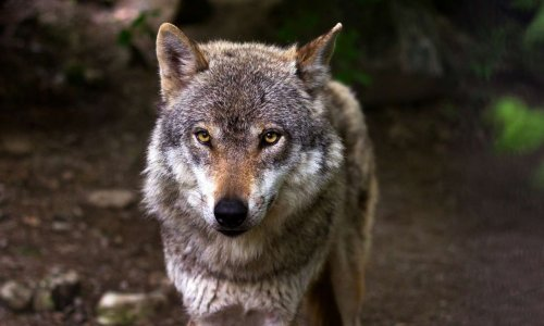 Sauvons le loup