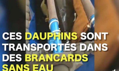 Sauvons les dauphins des cirques Indonésiens, asiatiques, tous, sauvons les.
