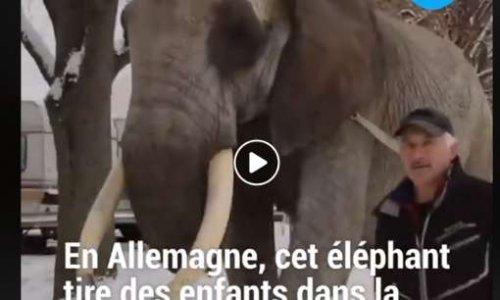 En Allemagne, cet éléphant passe ses journées à tirer des enfants en luge!!!!