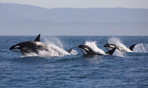 Danger pour ces espèces : narval, béluga, phoque et orque