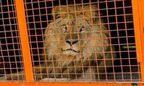 Non aux cirques avec animaux sauvages à Saint-Brieuc !