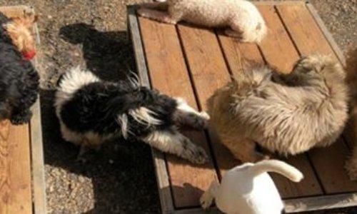 Contre la vente de 200 chiens (ils ont été vendus par le TGI de Laval ) de l'élevage de Cossé-le-Vivien (53) à un élevage usine  « Les Marais de Courmont »situé à Drosnay dans le département de la Marne