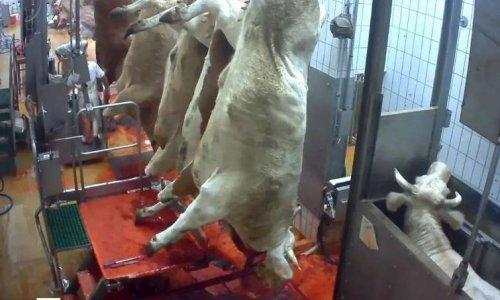 Contre les élevages intensifs, les fermes usines et les énormes abattoirs