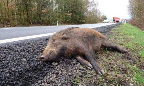 Collisions avec la faune sauvage: moins d'accidents, c'est possible. Demandons des mesures dans la loi sur les mobilités.