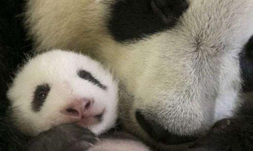 Garder notre bébé panda