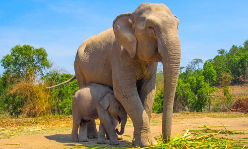 Sauvegarde des éléphants au Botswana : interdiction du braconnage