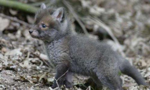 Stop piégeage de renardeaux et de leur maman dans le Haut Rhin