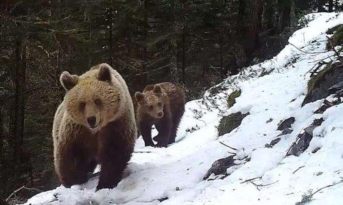 Pétition : NON à l'effarouchement des ours dans les Pyrénées ! Protégez les troupeaux et laissons les ours tranquille