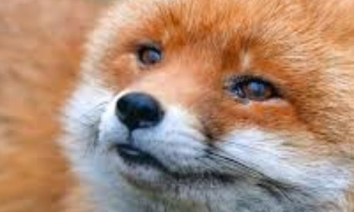 Pétition : Non à l'abbattage des renards à Sainte Foy De Peyrolieres (31)