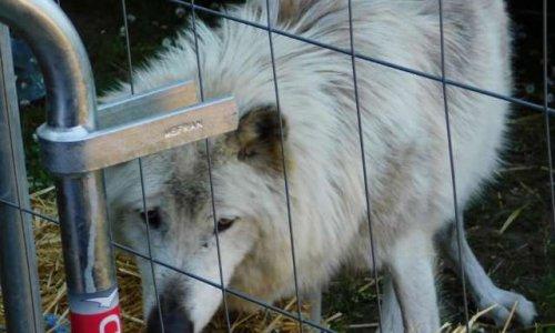 NON aux animaux sauvages (loups et ours) prisonniers des spectacles du Moyen Age