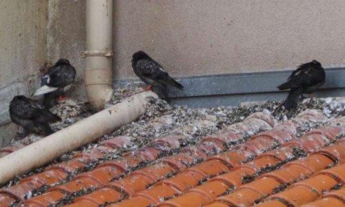 stop à la nuisance des pigeons
