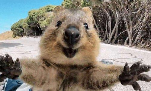 Pétition : Le Quokka : marsupial en danger