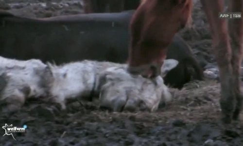 NON à l'abattage des chevaux comme viande de boucherie
