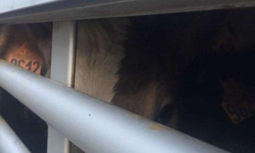 Stop au transport d'animaux pendant les fortes chaleurs