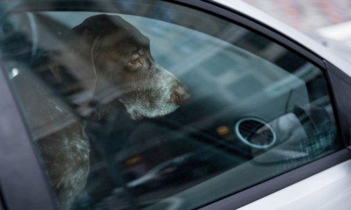 Sanction contre les propriétaires qui laissent les chiens dans les voitures en plein soleil
