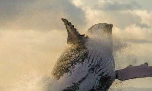 Pétition : Chasse à la baleine : boycott du Japon