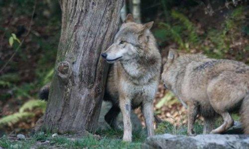 La préfecture de la Meurthe-et-Moselle va autoriser l'abattage du seul loup du département!