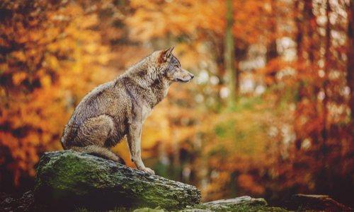 Non à l'abattage systématique des loups !