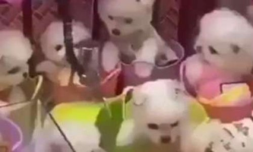 Contre les chiots à gagner dans les fêtes foraines en Chine