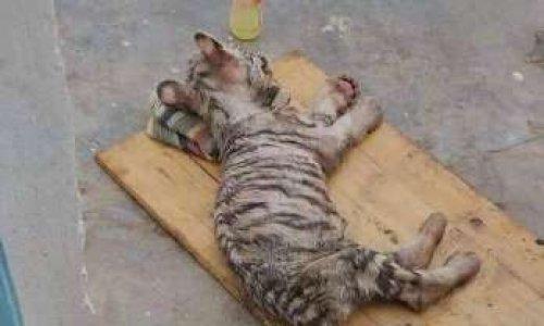 Il faut sauver ces bébés Tigres Blancs !