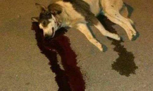 Arrêter de massacrer les chiens du Maroc