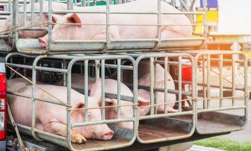 Contre le transport des animaux vivants hors UE.