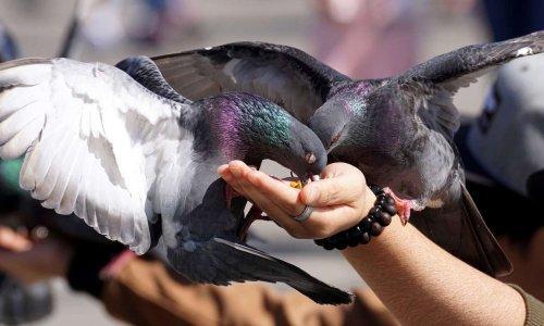Halte aux Pigeons à Millau