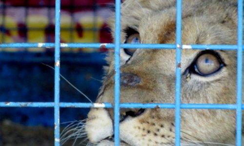 Interdiction des cirques qui possèdent des animaux à Sallanches
