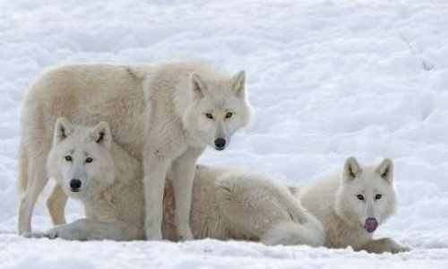 Tous ensemble pour sauvez les loups
