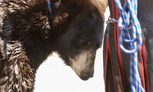 Pétition : Non à l'exploitation de l'ours Valentin au Puy-en-Velay les 19, 20 et 21 septembre 2019