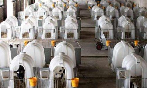 Pétition : Non à l'élevage des jeunes veaux laitiers par isolation