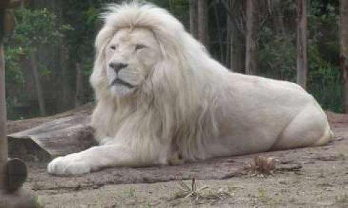 Sauvons les lions blancs