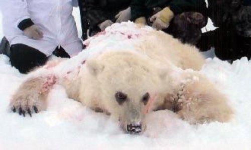 NON à la chasse aux ours polaires au Canada!