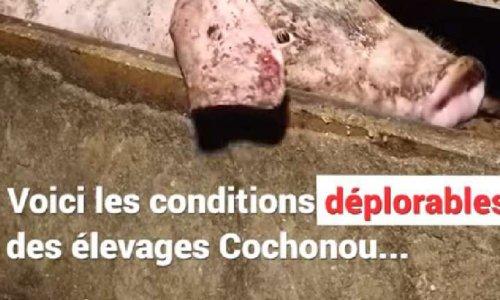 L'enfer des élevages intensifs des porcs !