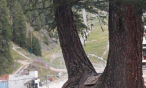 Pétition : Sauvons l'arbre bicentenaire de la station de Vars