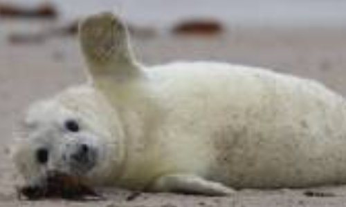 NON à ce projet : la Suède envisage de rétablir la chasse aux phoques