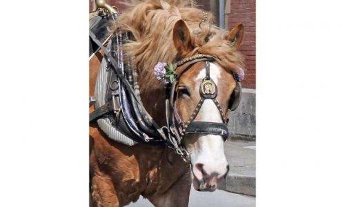 Pour la reconnaissance patrimoniale du cheval urbain au Québec