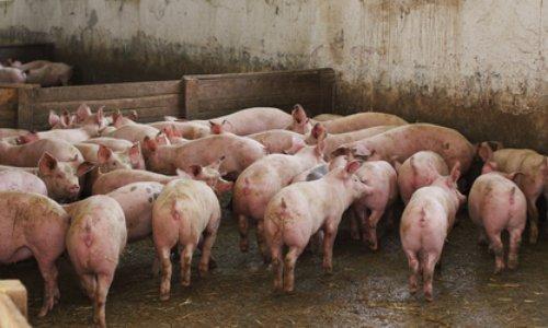 Pétition : Fermez l'élevage industriel de porcs de Monsieur François Valy à Ruffiac de le 56 (Morbihan) qui vivent dans des conditions déplorables