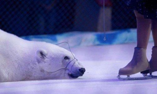 Libérez l'ours polaire du cirque Ivanovo