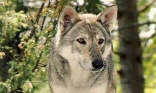 Pétition : Le seul loup de la plaine de Meurthe-et-Moselle devrait bientôt être abattu