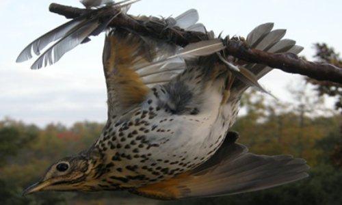 Pétition : Contre la tuerie des oiseaux par la glu