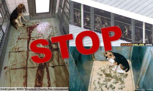 Beagles torturés : Le laboratoire Covance doit être puni !