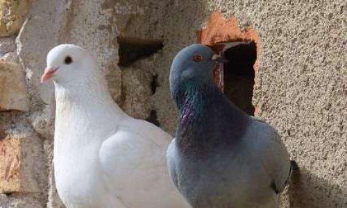 STOP à la capture des pigeons prévue pour 2020 à Salon de Provence dans le département des Bouches du Rhône