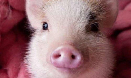 Oui aux cochons miniatures à Baie-Comeau