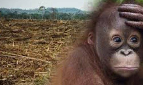 Sauvons les orangs-outans