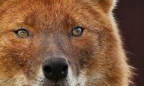 Dhole : animal en danger